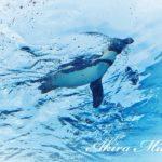 サンシャイン水族館の空飛ぶペンギン。何とも涼やか~♪♪♪