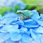 秩父ミューズパークで、紫陽花(アジサイ)を愛でる至福。