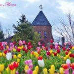 アンデルセン公園のチューリップが、一足早く春を告げました。