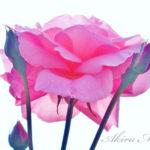6月の神代植物公園は、薔薇(バラ)という造形と香りの小宇宙。
