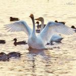 多々良沼の白鳥は、フランス映画のようにノスタルジックだ。