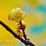 1月に咲く蝋梅(ロウバイ)の甘い香りを写真で。【長瀞・宝登山】