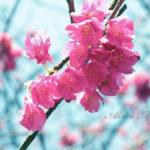 「梅」という春を探しに。【かつての地元:小石川植物園】