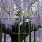 ウィステリア・藤の花の仄かな香り【あしかがフラワーパーク】